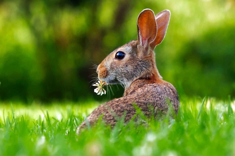 Чернохвостые зайцы